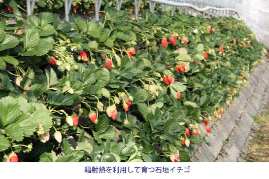 輻射熱を利用して育つ石垣イチゴ